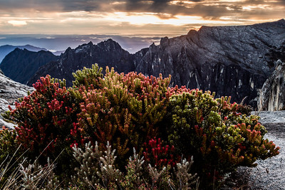 Plants close to the summit of Mount Kinabalu, Borneo (4095m)