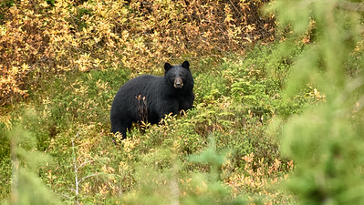 Black Bear at Mount Rainier