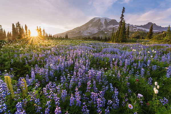 Mt. Rainier - Mazama Meadow