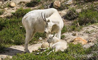 Wild Mountain Goat and Kid