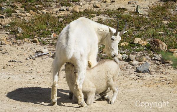 Lunch, Mountain goat kid suckling in Wild