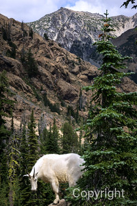 Mountain Goat in front of Mount Stuart