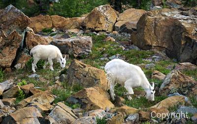 Mountain Goats Mount Rainier National Pk