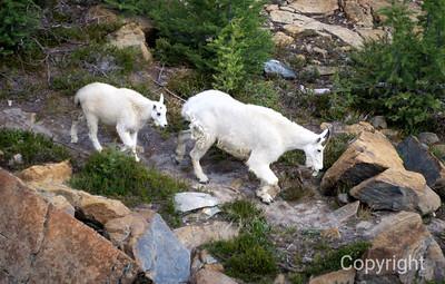 Mother & Kid Mountain Goats  Mt Rainier