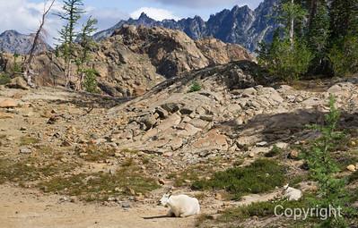 Mountain Goats Mount Rainier