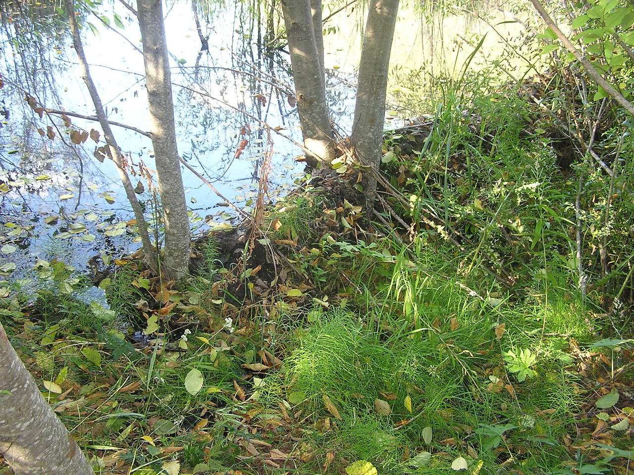 Beaver dam along the Hummocks Trail.  Beaver have moved back into the environment since Mt St Helens' 1980 eruption.