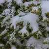 Snowy Fir Needles