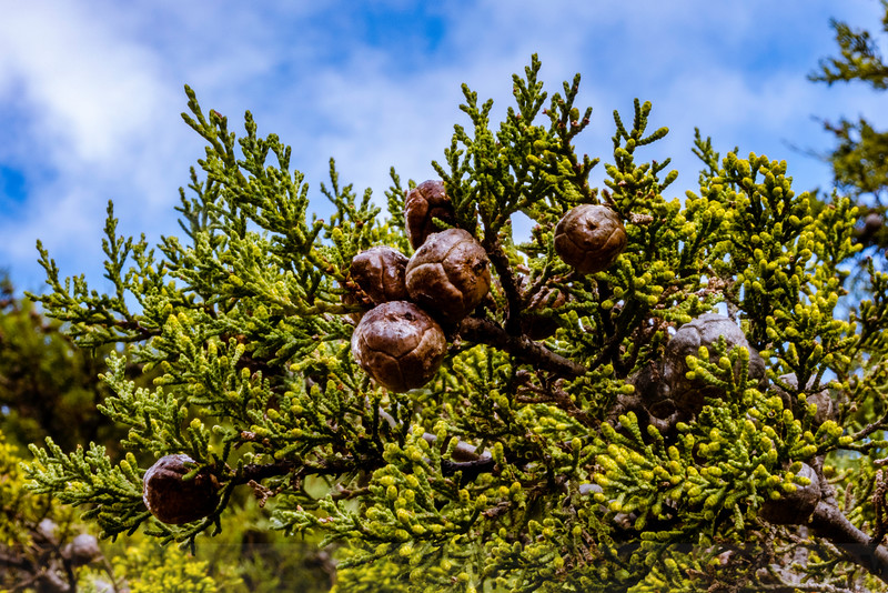 Sargent's Cypress on Carson Ridge