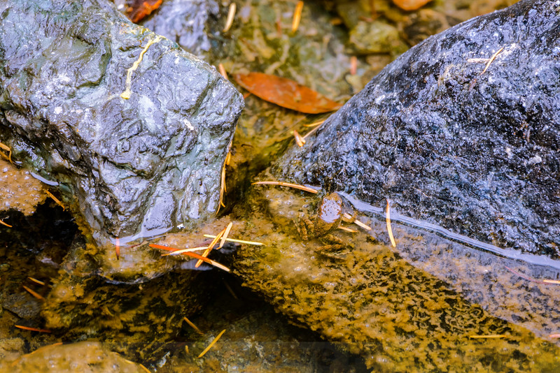 Foothill Yellow-legged Frog in Big Carson Creek