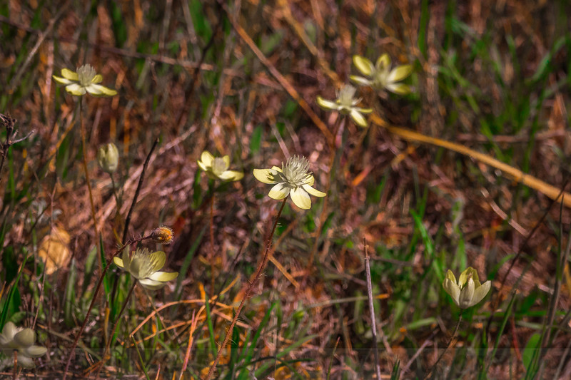 Creamcups blooming on Alpine Ridge