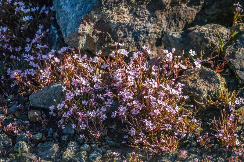 Serpentine Springbeauty in Bloom along Pine Mountain Road