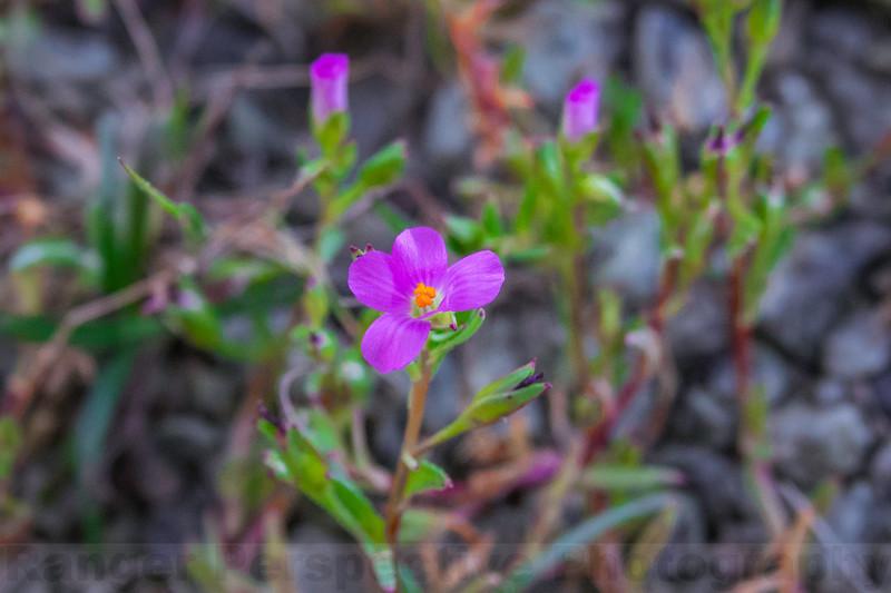 Redmaids in bloom on Alpine Ridge