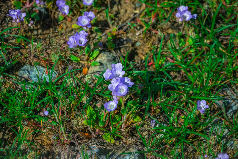 Divaricate Phacelia in bloom along Old Sled Trail