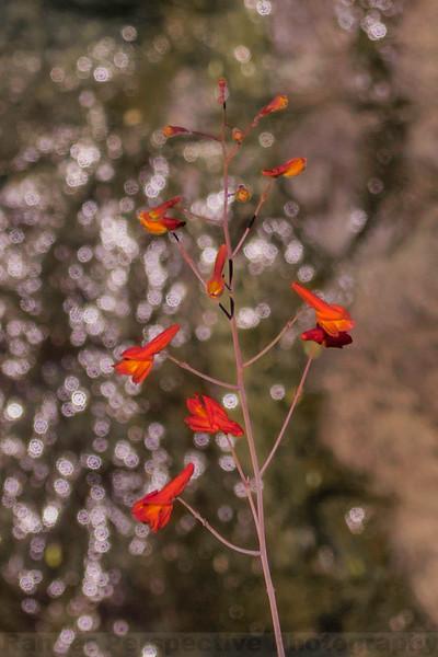 .Canyon Delphinium at Carson Falls