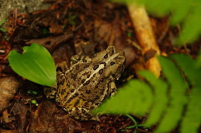 A Toad in the Woods #2