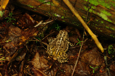 A Toad In the Woods