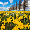 Daffodils in Mount Vernon, Washington