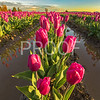 Tulips in Mount Vernon, Washington