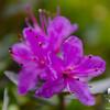 Lapland Rosebay (Rhododendron lapponicum)
