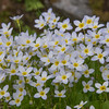 Along the Auto Road-Bluets (Houstonia cerulea)