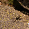 Wolf Spider genus Lycosa, there are over one hundred species of Wolf Spider, so I cannot guess what these are, but they are all over the Presidential Range.