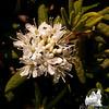 Labrador Tea (Rhododendron groenlandicum)