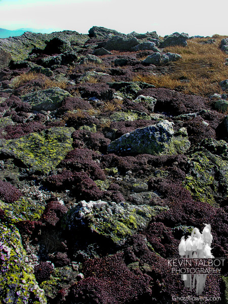 In October the Diapensia has faded to a purple ground cover. Diapensia (Diapensia lapponica)