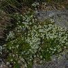 Mountain Sandwort (Minutia groenlandica)