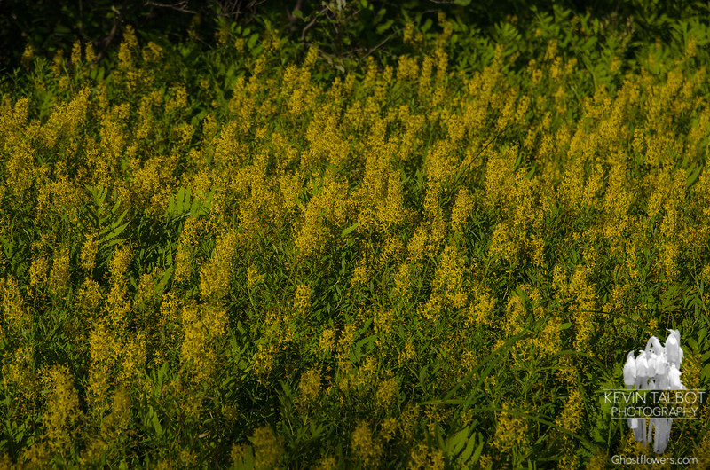 Had to stop for these beside the road on the way back to camp-Swamp Candles (Lysimachia terrestrial)
