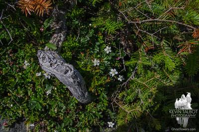 Threetoothed Cinquefoil (Sibbaldiopsis tridentata)
