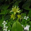 Clintonia (Clintonia borealis) with Bunchberry (Cornus canadensis)