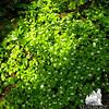 Bunchberry (Cornus canadensis) 1.