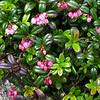 Mountain Cranberry (Vaccinium vitis-idaea)