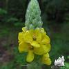 Common Mullein (Varbascum thapsus)