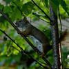 Extent of today's wildlife Red Squirrel (Tamiasciurus hudsonicus)