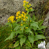 Large-leaved Goldenrod (Solidago sp).