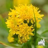 Large-leaved Goldenrod (Solidago sp.)