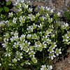 Above treeline Mountain Sandwort (Minuartia groenlandica) was blossoming all along the trail.