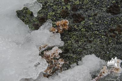 Alpine Goldenrod (Solidago cutleri)