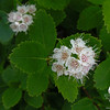 Meadow Sweet (Spiraea alba) var. latifolia