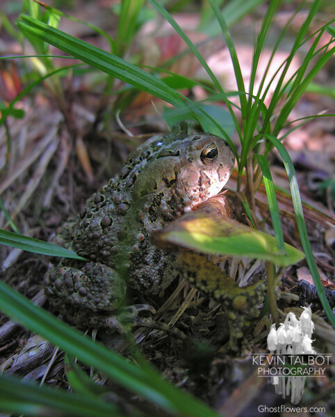 Mister Toad sits along the Boott Spur Trail. American Toad (Bufo americanus)