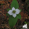 Bunchberry (Cornus canadensis) is starting to fade now.