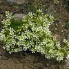 Mountain Sandwort in full bloom along the Boott Spur Trail. Mountain Sandwort (Minuartia groenlandica)