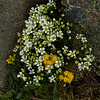 Mountain Sandwort (Minuartia groenlandica) and a type of Goldenrod, perhaps Lance-leaved?