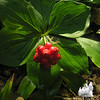 Bunchberry (Cornus canadensis) at Moosebrook State Park.