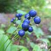 Clintonia (Clintonia borealis) Blue-bead Lily at Moosebrook State Park.