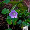 Common Wood Sorrel (Oxalis montana)