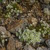 Mountain Sandwort (Minuartia groenlandica) in the Alpine Garden.