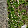 Twin Flower (Linnaea borealis)