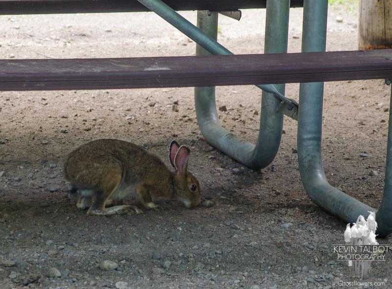 Snowshoe Hare (Lepus americanus) at Moose Brook State Park.